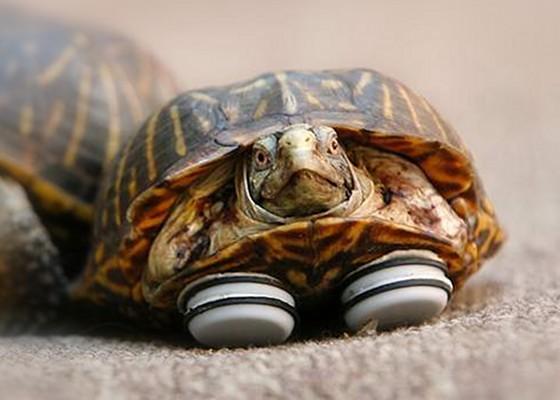 Glider_tortoise_560